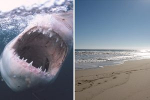 11 Great Whites Sharks Stalk Coastline